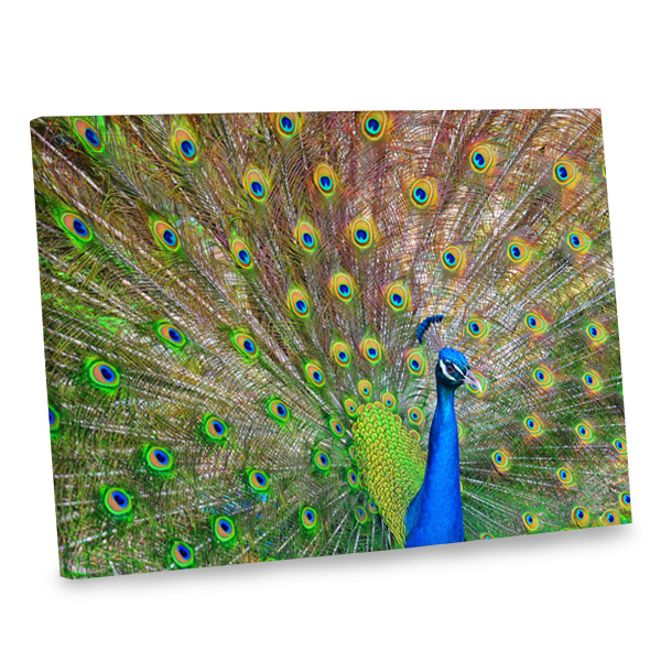 Add the stunning beauty of a peacock into your decor with our peacock canvas photo print